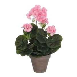 Fiore geranio vaso 11 rosa